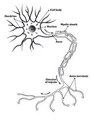 nerve cell.JPG
