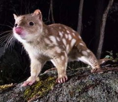 quoll.png
