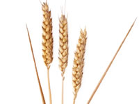 Whole grains are found in wheat, oats, barley, maize and brown rice