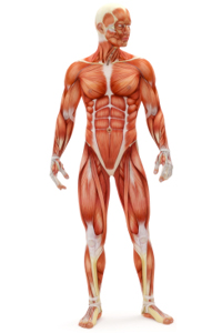 muscular system - diabetes and muscles: skeletal, smooth & cardiac, Muscles